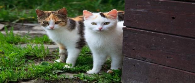 เลี้ยงอะไรดี ระหว่างแมวไทยกับแมวสายพันธุ์ต่างประเทศ