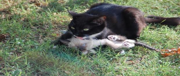 พฤติกรรมการคาบลูกหนี ของแมวไทย