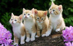 การเลือกซื้อแมวเปอร์เซีย