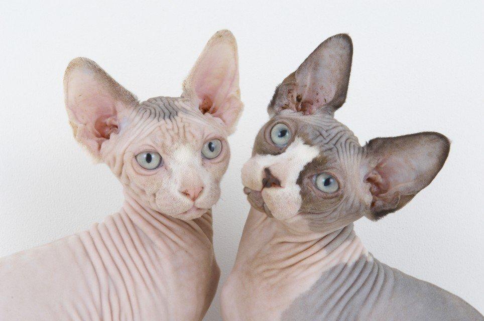 5 สายพันธุ์แมวที่ว่าน่าเกลียดน่ากลัวที่สุด