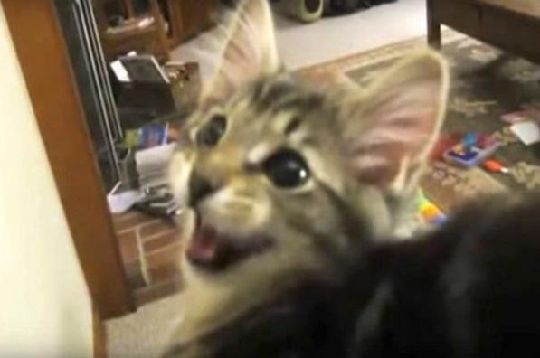 มารู้จัก Pickles ร่างกายเกิดมาเป็นแมว แต่ดันมีเสียงร้องเป็น แพะ