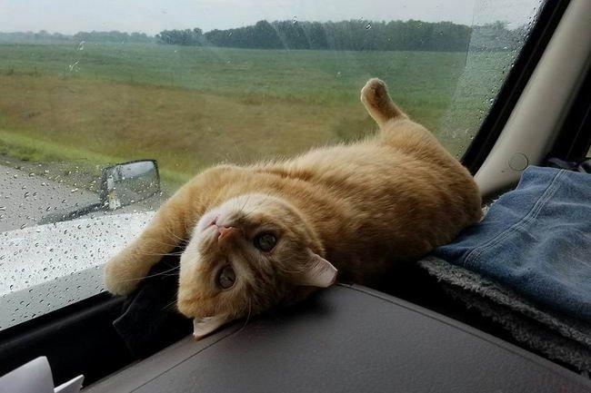 เหมียวส้มตาละห้อย อ้อนให้คนขับรถบรรทุกพามันไปเที่ยวด้วย ก่อนจะหลับตลอดทริป