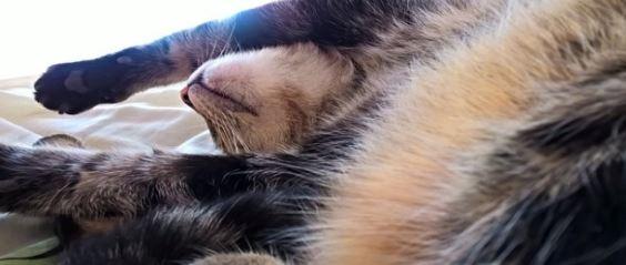 การดูแลน้องแมวท้อง สิ่งที่เจ้าของน้องแมวต้องระวังเป็นพิเศษ