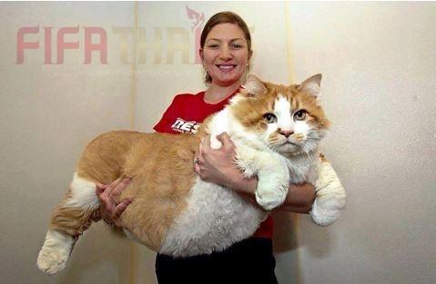 ความน่ารัก ของเจ้าแมวอ้วนตัวยักษ์