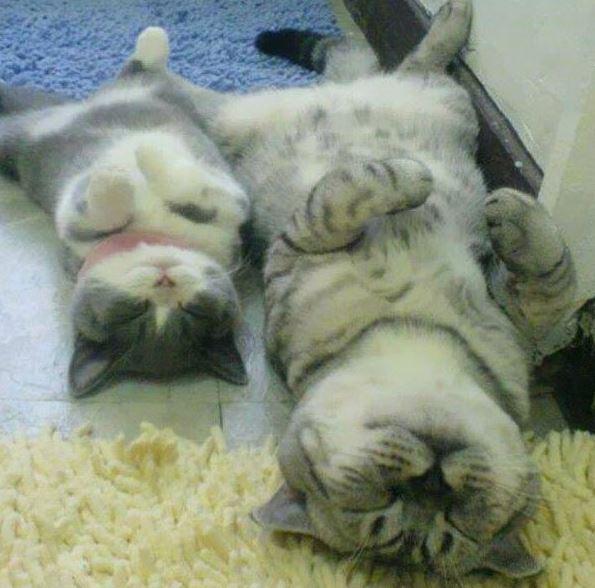 ลูกแมวที่เหมือนพ่อแม่ราวกับก็อปวาง ทั้งหน้าตาลวดลายอย่างเป๊ะ