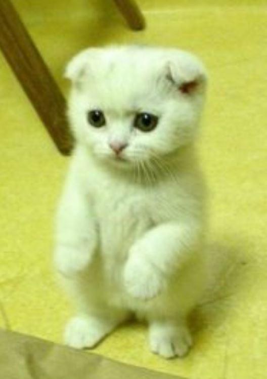 รวมรูปภาพ เจ้าแมวเหมียว ขาสั้น น่ารักฟรุ้งฟริ้งกระดิ่งแมว