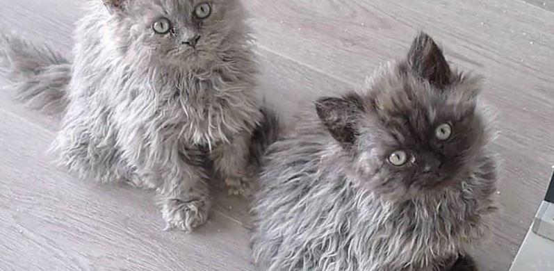 มาทำความรู้จักกับแมวสายพันธุ์ Selkirk Rex ขนฟูหยิกหยอยน่ารัก