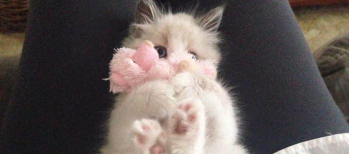 ภาพน้องแมวน่ารักที่ติดของเล่นตั้งแต่เด็ก จนโตมาก็ยังเล่นอยู่
