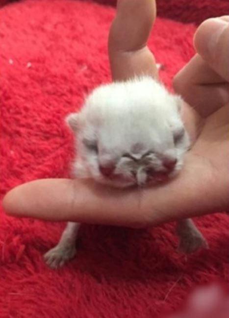 ฮือฮา! กับแมวประหลาดเกิดมามี 2 หัว 3 ตา พบยาก 1 ในล้าน !!