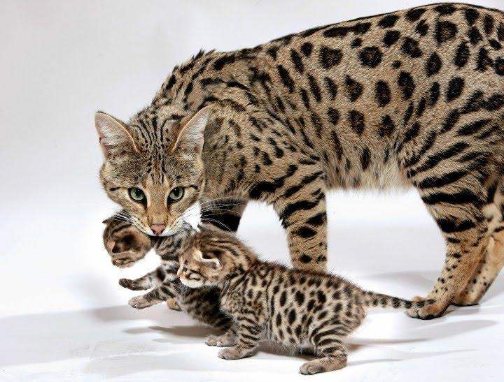 10 อันดับแมวที่แพงที่สุดในโลก!!