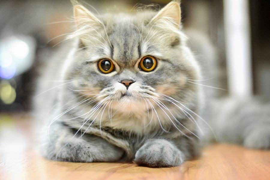 สายพันธุ์แมวเปอร์เซียที่ได้รับความนิยมมากที่สุดในประเทศ