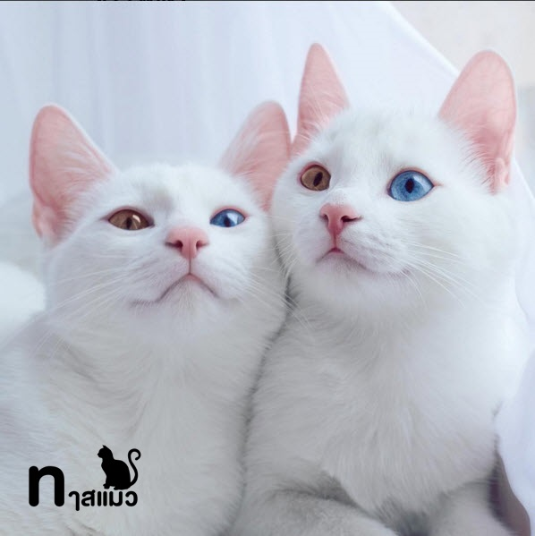 สาเหตุและการดูแลโรคเฮเทอโรโครเมีย ของแมวตา 2 สีที่ผิดปกติ