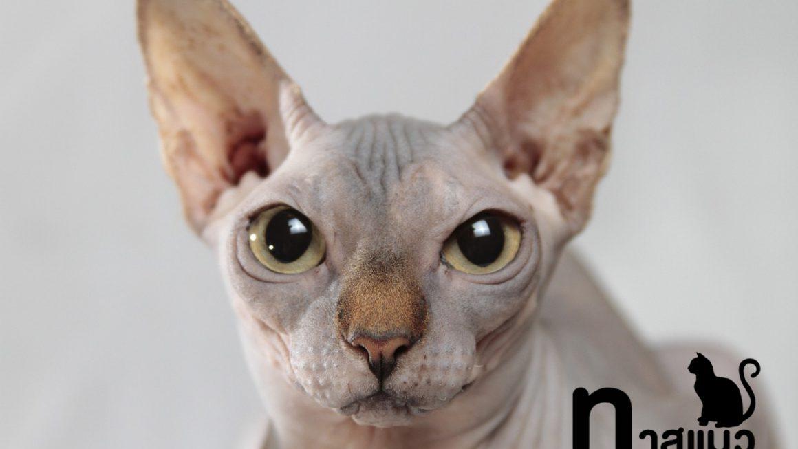 คนรักแมวต้องรู้! 10 เรื่องน่ารู้เกี่ยวกับแมวสฟิงซ์ แมวไร้ขน